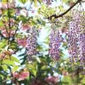 藤と名残り桜