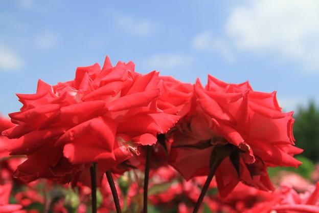 青空に赤いバラ