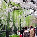 祇園白川春風景
