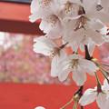 写真: 春の主役