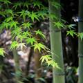 竹にモミジ