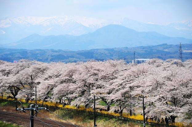 白川石堤櫻花和藏王連峰