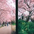 Photos: 河津の桜