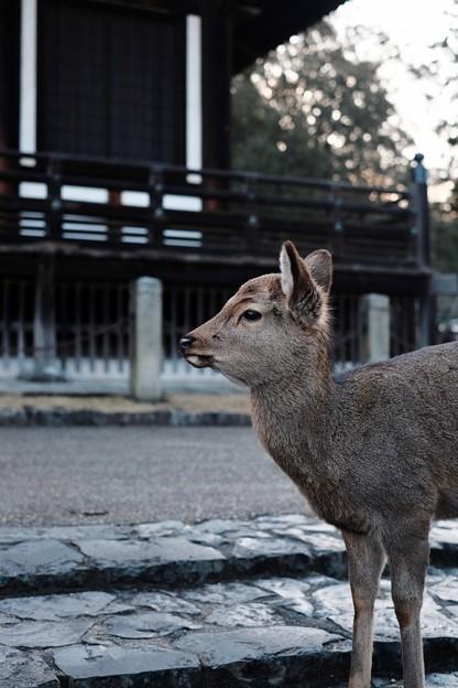 奈良の鹿-奈良県奈良市:東大寺三月堂