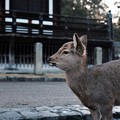 Photos: 奈良の鹿-奈良県奈良市:東大寺三月堂