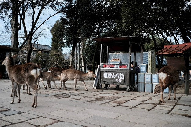 所在無さげな鹿たち-奈良県奈良市:東大寺