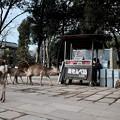 Photos: 所在無さげな鹿たち-奈良県奈良市:東大寺