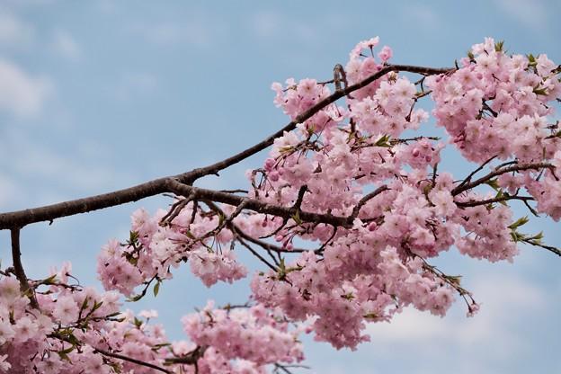 なぜこれほどに桜が愛されるのでしょう-奈良県明日香村:石舞台古墳