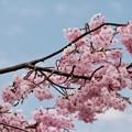 Photos: なぜこれほどに桜が愛されるのでしょう-奈良県明日香村:石舞台古墳