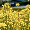 Photos: 菜の花-奈良県明日香村:橘寺
