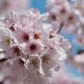 桜と青空-奈良県明日香村:橘寺
