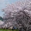 満開の桜-奈良県明日香村:飛鳥川