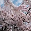 さくらの日-奈良県明日香村:飛鳥川