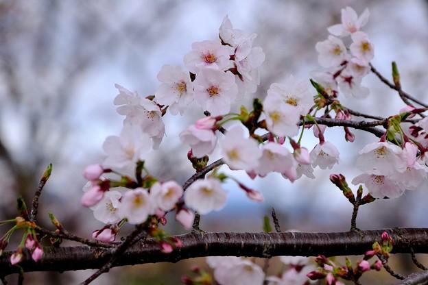Photos: 咲き始めた桜-三重県伊勢市:宮川堤