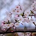 咲き始めた桜-三重県伊勢市:宮川堤