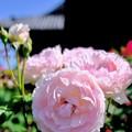 Photos: 陽光を浴びて-奈良県橿原市:おふさ観音