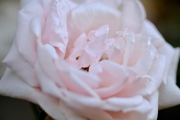 バラの種類-奈良県橿原市:おふさ観音