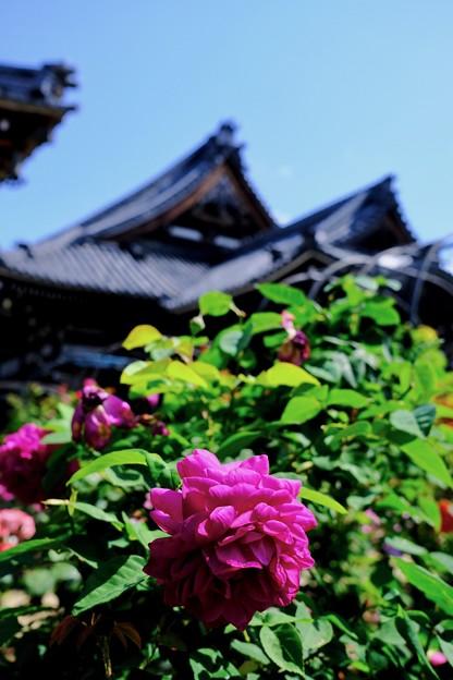 お寺と薔薇-奈良県橿原市:おふさ観音
