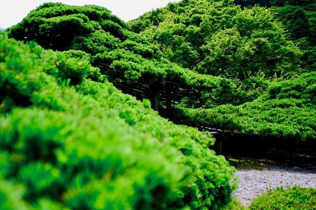 遊龍の松-京都市西京区:善峯寺