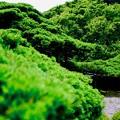 Photos: 遊龍の松-京都市西京区:善峯寺