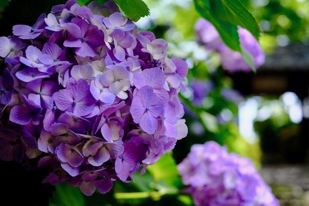 ここも紫陽花の寺-京都市西京区:善峯寺