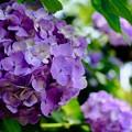 Photos: ここも紫陽花の寺-京都市西京区:善峯寺
