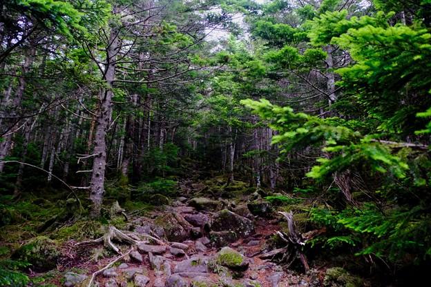 樹林帯-長野県茅野市:北八ヶ岳