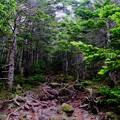 Photos: 樹林帯-長野県茅野市:北八ヶ岳