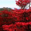 Photos: 真っ赤な秋ー奈良県上北山村:大台ヶ原山