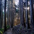 Photos: 杉木立ち-大阪府河内長野市:岩湧山