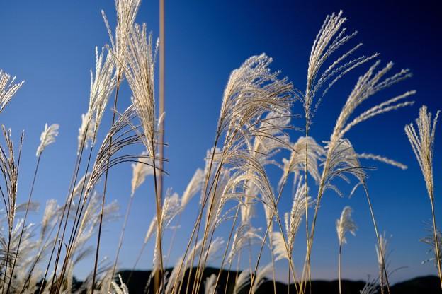 秋風にススキが揺れて-大阪府河内長野市:岩湧山