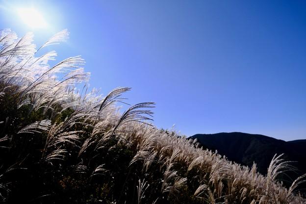 ススキ、煌めく-大阪府河内長野市:岩湧山