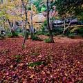 Photos: 真紅の絨毯-京都市右京区:祇王寺