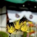 Photos: 嵯峨菊が咲くお寺へ-京都市右京区:大覚寺
