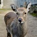 品のある鹿-広島県廿日市市:宮島