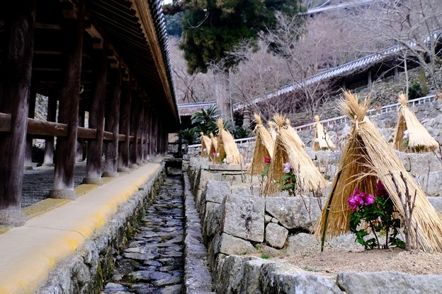 冬に咲くボタン-奈良県桜井市:長谷寺