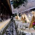 Photos: 冬に咲くボタン-奈良県桜井市:長谷寺