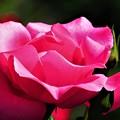 初夏に見た花 ピンク