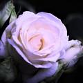 薔薇 落着いた色