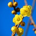 写真: 春よ来い 蝋梅