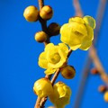 Photos: 春よ来い 蝋梅