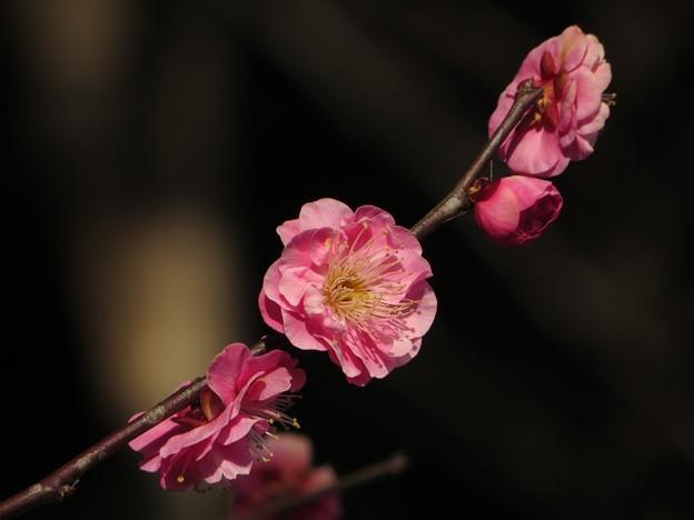 写真: 今日観た風景 紅梅