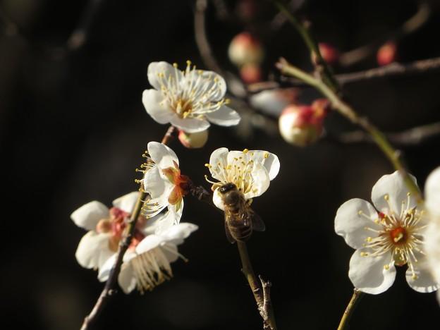 写真: 今日観た風景 白梅