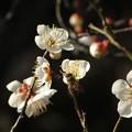 Photos: 今日観た風景 白梅