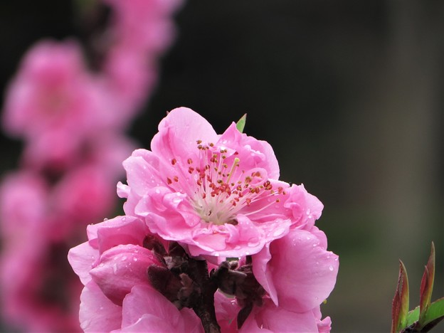 春の輝き ピンク