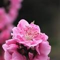 写真: 春の輝き ピンク