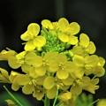 春の輝き 黄色