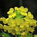 写真: 春の輝き 黄色