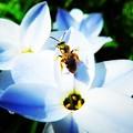写真: 花韮と蜂