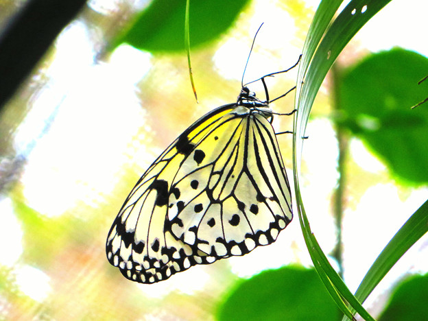 沖縄の蝶2